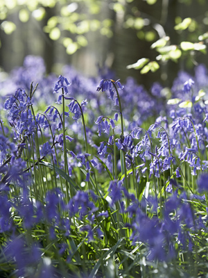 stock-photo-bluebells-growing-in-woodland-28043470